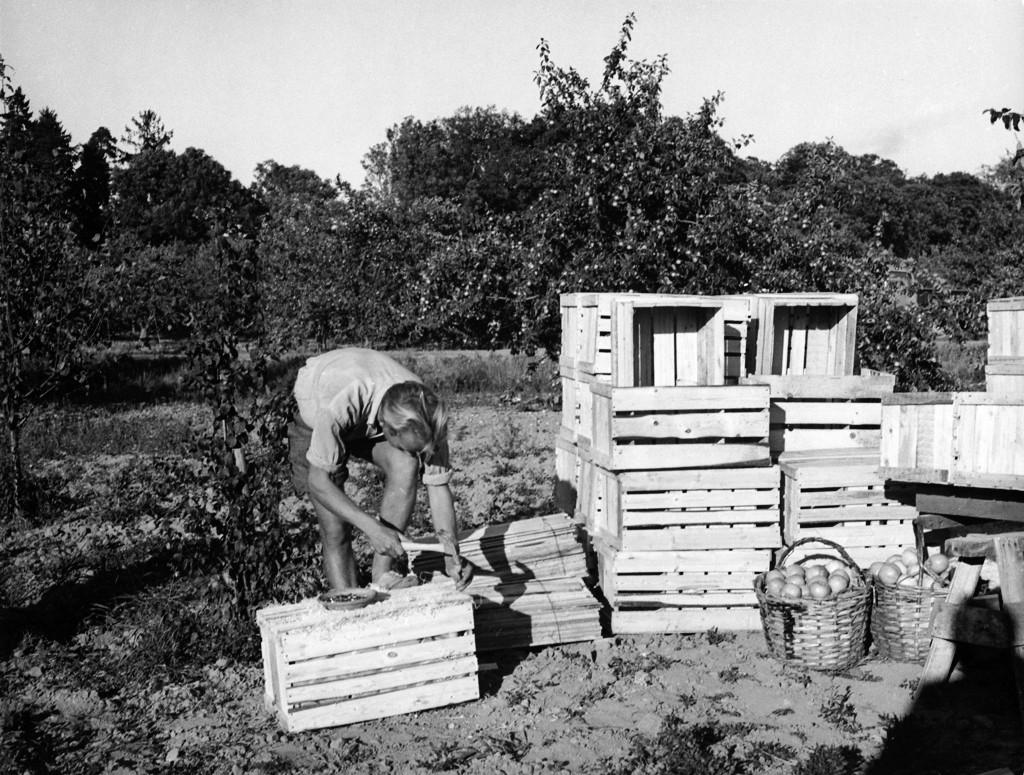 Äppelskörd på Rastaborgs Trädgårdar, Ekerö. Foto: Karl Heinz Hernried, © Nordiska museet