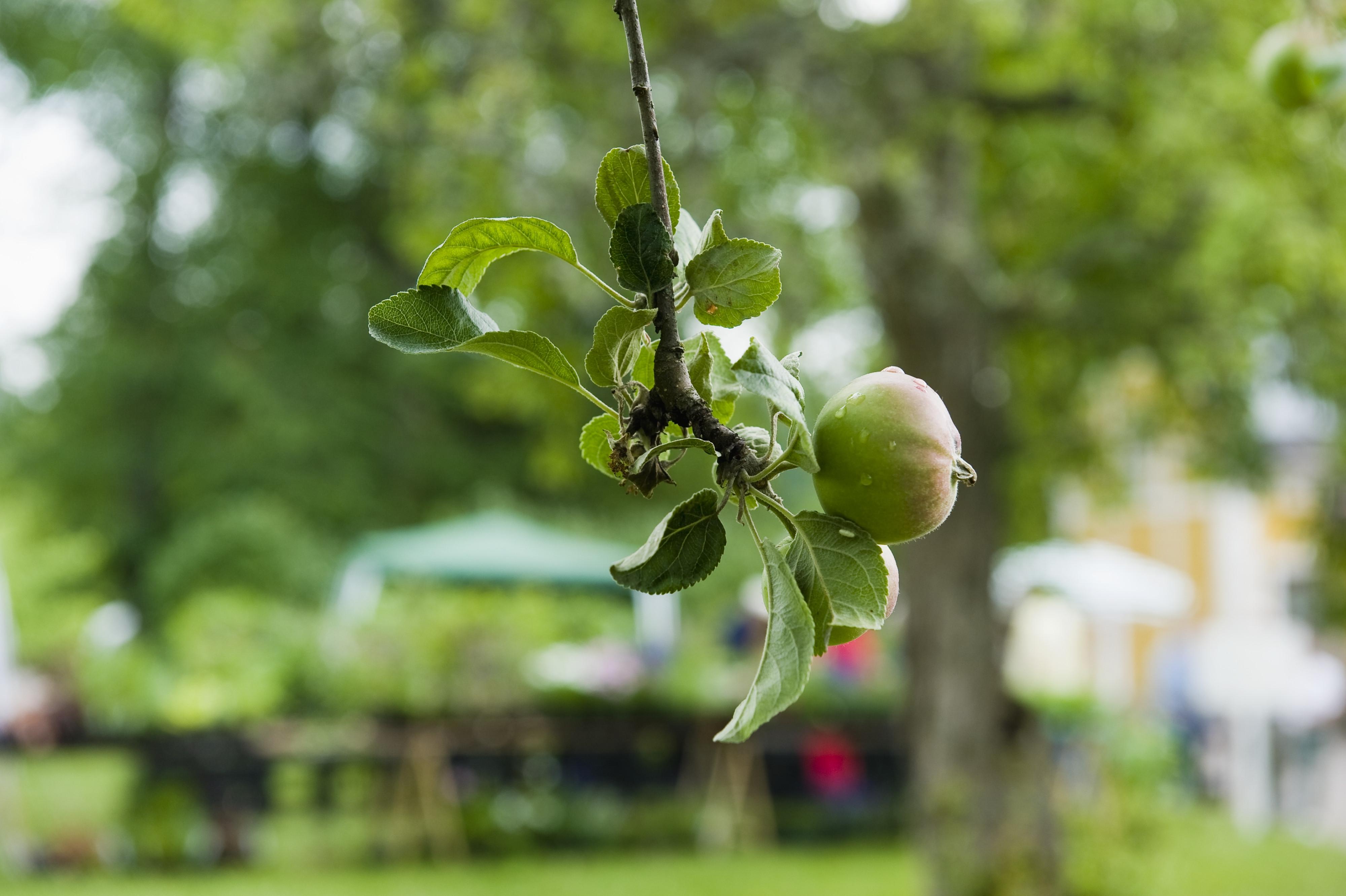 Äppelträd. Foto. Bertil Wreting, © Nordiska museet