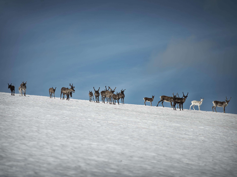 Renar på snötäckt fjäll mot blå himmel