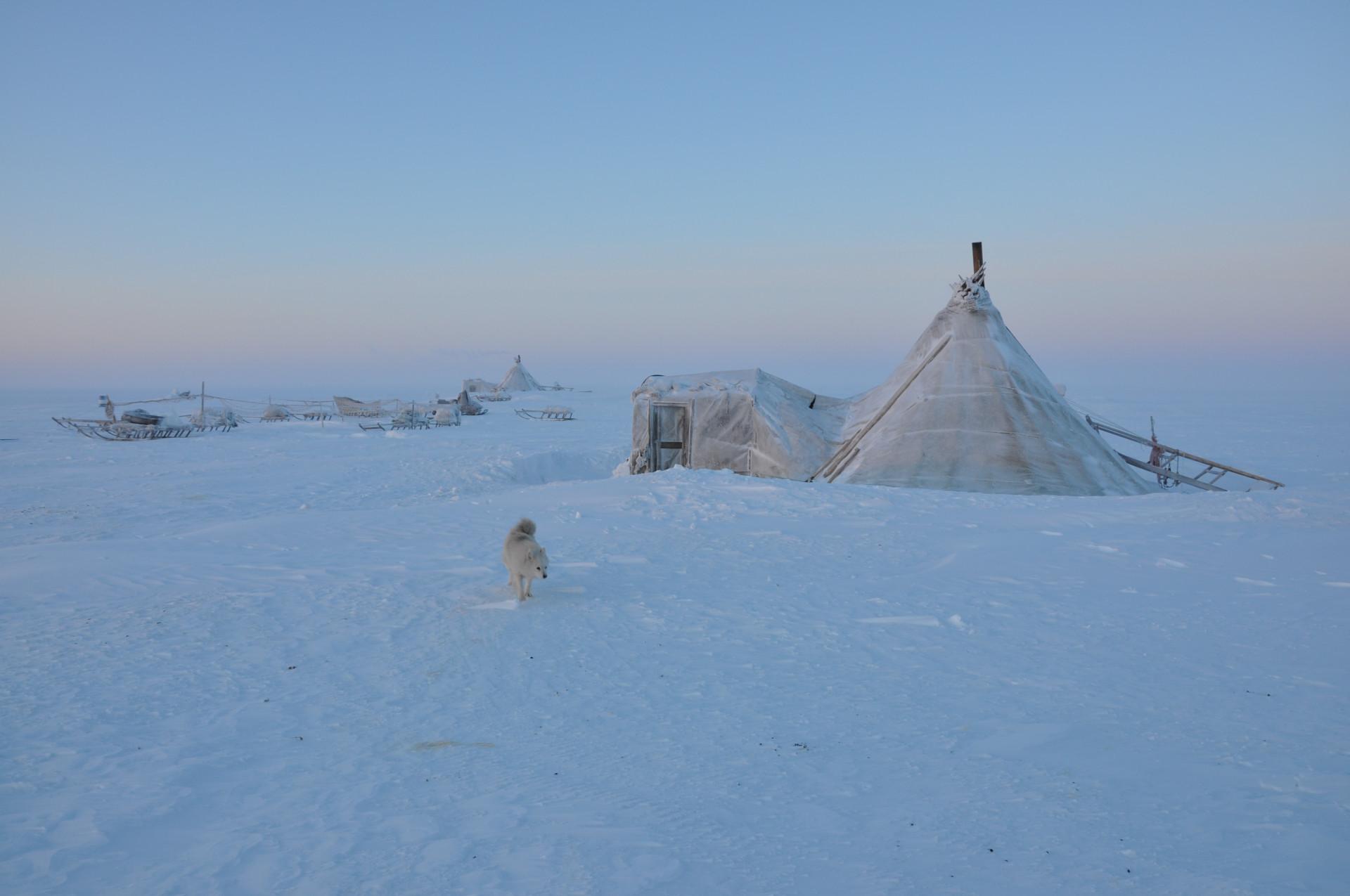 Ett tält övertäckt med någon form av textil i Jamal, Ryssland. Runtomkring syns ett snöigt landskap och en vit hund. Foto: Dmitry Arzyutov