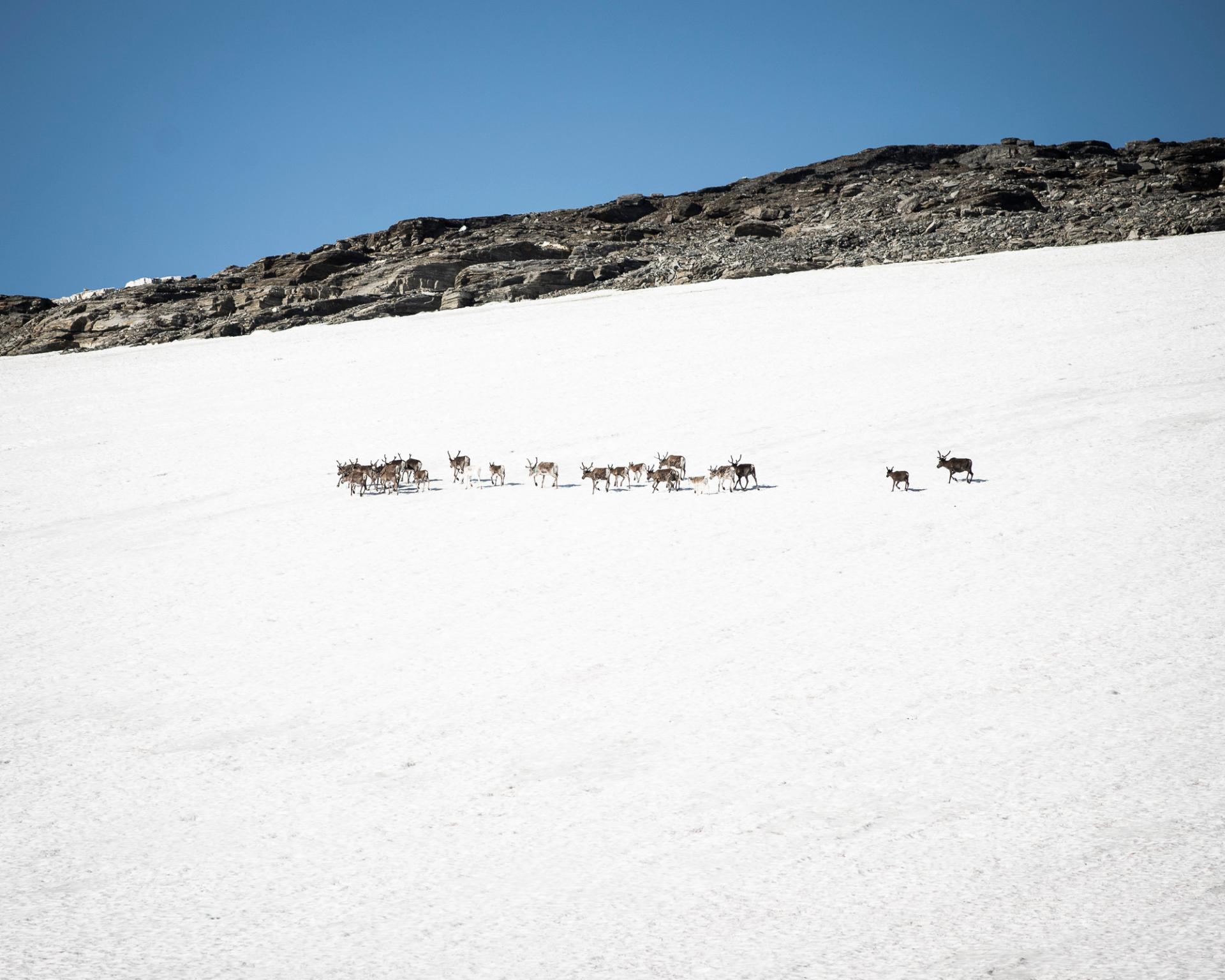 Renar som går på snötäckt fjäll i Abisko