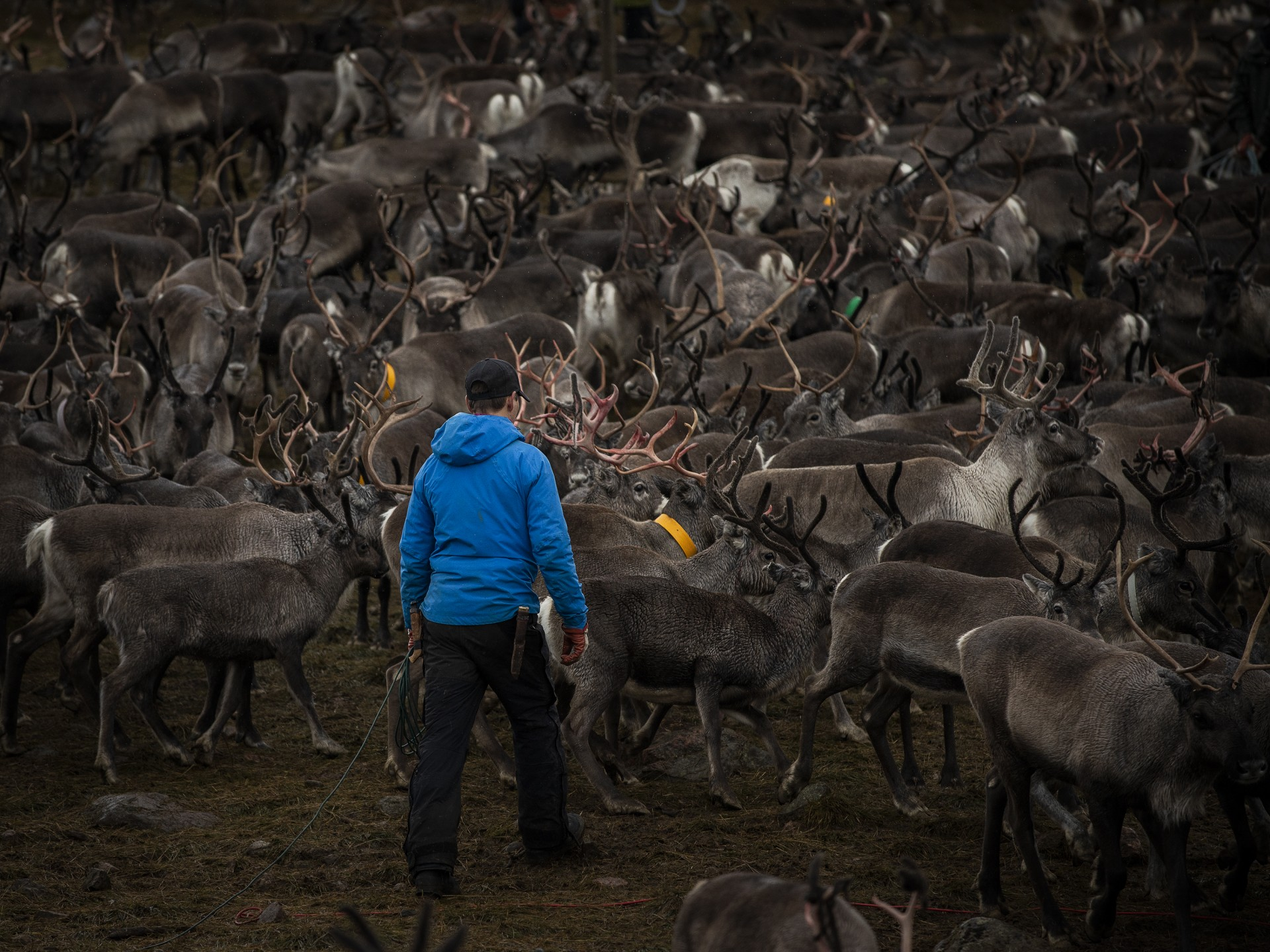 Reindeers and a man in a blue jacket.