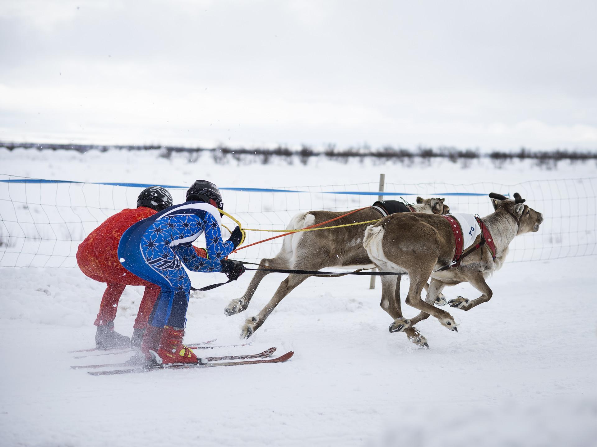 Två personer klädda i röd och blå overall som åker skidor efter renar. Från Kautokeino.