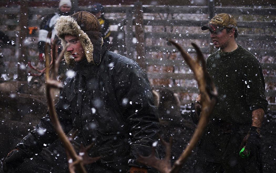 Två män i snöoväder bland renar