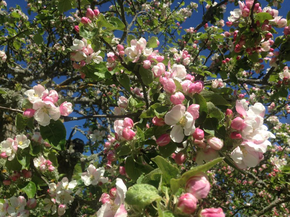Stenkyrke, äppelblom