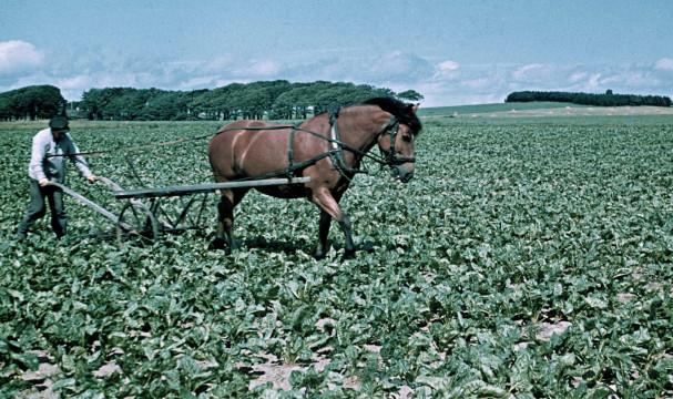 Sockerbetsodling. Man med jordbruksredskap draget av häst. Foto: Gunnar Lundh, © Nordiska museet