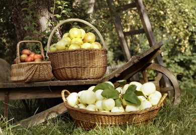 Äppelkorgar. Foto. Kerstin Bernhard, © Nordiska museet