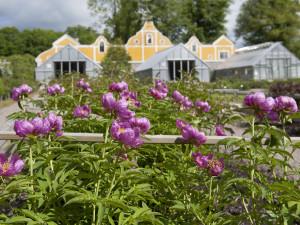 Pionsamlingen på Julita gård. Blommar från mitten av juni. Foto: Peter Segemark, Nordiska museet.