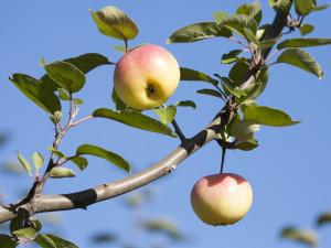 Äppelodling. I september dignar det av frukt i de mer än 300 äppel- och päronträden på Julita gård. 120 äppelsorter och några päronsorter finns i äppel- och pärongenbanken. Det är lätt att hitta de olika sorterna i odlingarna – alla är försedda med skyltar. Här finns allt från tidiga Astrakaner till Järnäpplen som mognar först påföljande vår. Foto: Peter Segemark, Nordiska museet