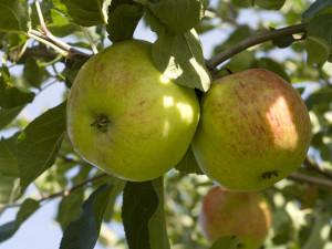 Stinas äpple. Foto: Peter Segemark, Nordiska museet.